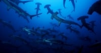 How to get to Isla Malpelo, the paradise to dive with sharks in Colombia