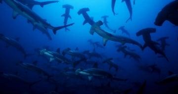 Cómo llegar a Isla Malpelo, el paraíso para bucear con tiburones en Colombia