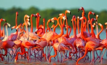 Flamants roses et ranching wayuu