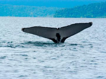 Plan de avistamiento de Ballenas en Bahía Solano
