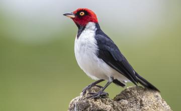 Ruta Pishku de avistamiento de aves en el Putumayo